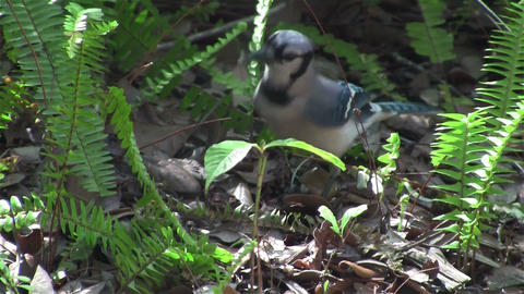 A Blue Jay Forages On The Forest Floor stock footage