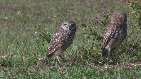 Two burrowing owls looking around Footage