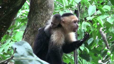 A capuchin monkey sits on a tree branch in Costa R Footage