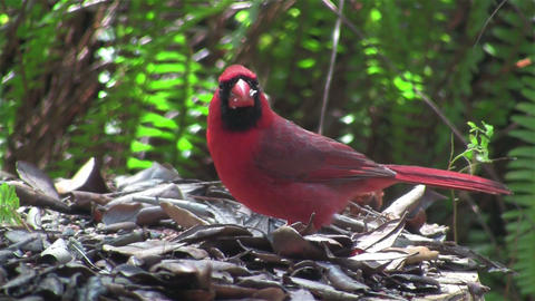 A red cardinal bird sits on a tree branch Footage
