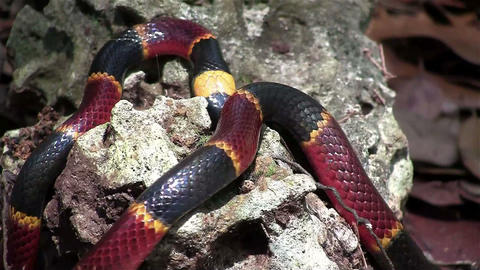 A coral snake crawls amongst rocks Footage