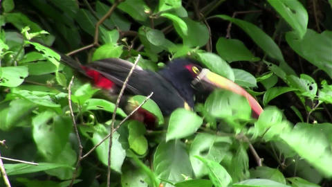 A aracari bird sits in a tree eating berries Footage