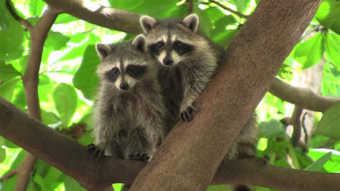 Two raccoons adopt a cute pose in a tree Footage