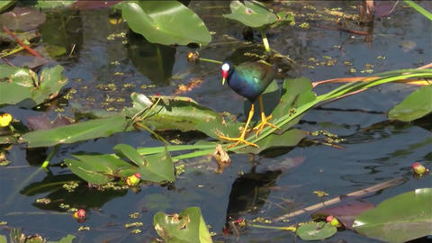 A purple gallinule walks in a swamp Footage