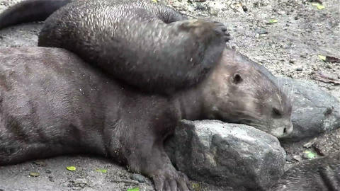 Giant river otters play on the ground Footage