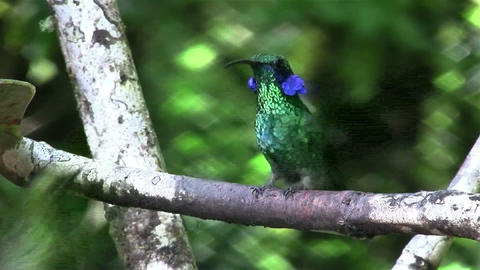 Two hummingbirds fight for position on a branch Footage