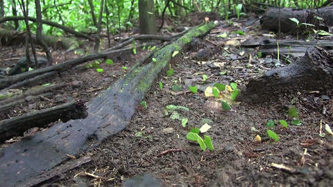 Thousands of leafcutter ants move across a forest  Footage