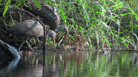 A limpkin on the shores of a lake Footage