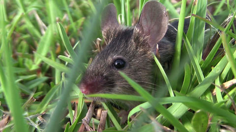 A small mouse sits in green vegetation Footage
