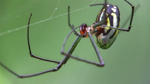 An orchard spider weaves it's web Footage