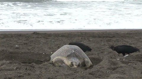 Olive Ridley sea turtle struggles through the surf Footage