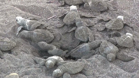 Dozens of baby olive Ridley sea turtles emerge fro Footage