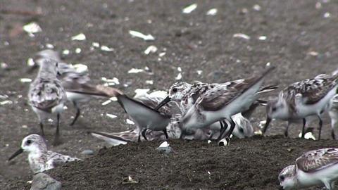 Sandpiper birds peck along the shore Footage