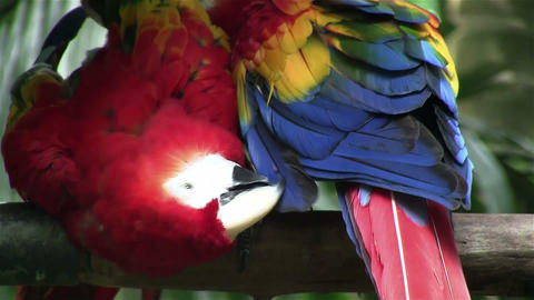 A scarlet macaw parrot preens himself Footage