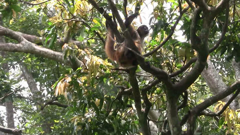 Spider monkeys play in a tree Footage