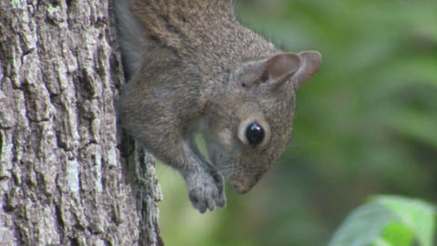 A squirrel in a tree Footage