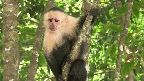 A capuchin monkey sits in a tree Footage