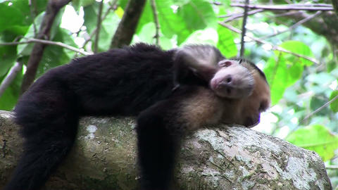 Two capuchin monkeys play in a tree Footage