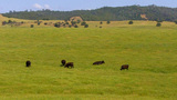 Cows Grazing On Verdant Hillside stock footage