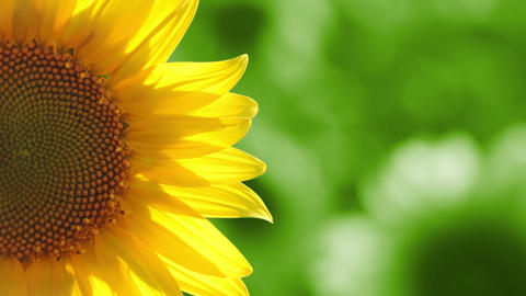 Sunflower on Green Background Footage