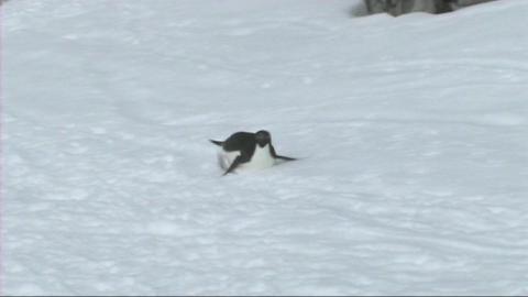 Adelie penguin Stock Video Footage