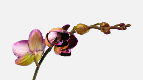 Time-lapse of opening dark purple orchid 1d with alpha matte Stock Video Footage