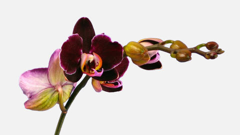 Time-lapse of opening dark purple orchid 1d with alpha matte Footage