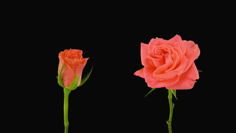 """Time-lapse of opening and dying """"Amsterdam"""" rose alpha... Stock Video Footage"""