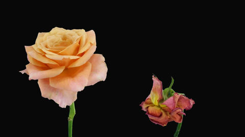 """Time-lapse of opening and dying """"Jazz"""" rose alpha matte 6d Stock Video Footage"""