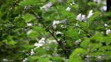 Apple Blossom stock footage