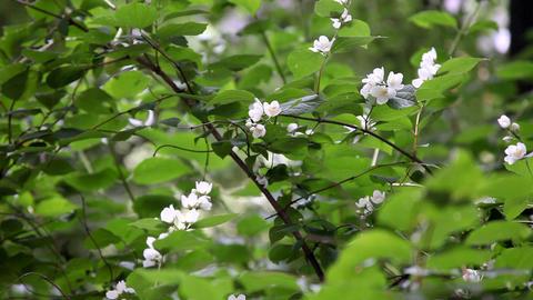 Apple blossom Footage