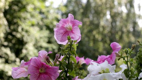 Petunia in sunny morning Footage