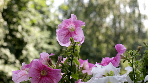 Petunia in sunny morning Stock Video Footage