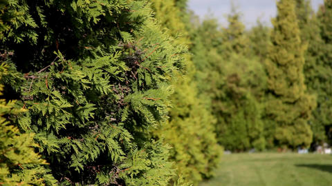 Focus on fir row in windy sunny day Focus on fir row in... Stock Video Footage