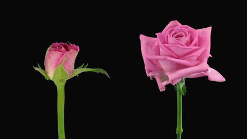 """Time-lapse of opening and dying """"Aqua"""" rose alpha matte 14d Stock Video Footage"""