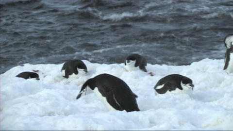 Chinstrap penguin Footage