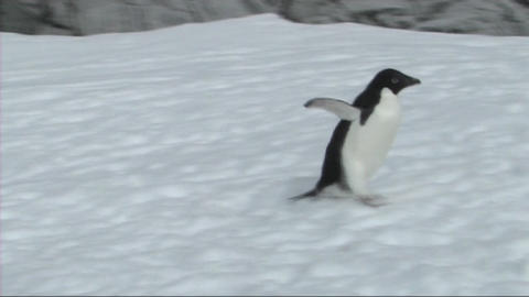 Adelie penguin Stock Video Footage