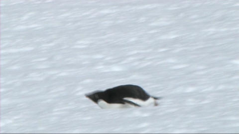 Adelie penguin Footage