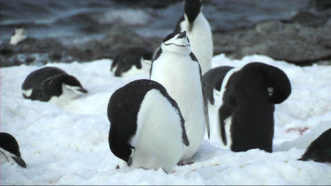 Chinstrap penguin Stock Video Footage