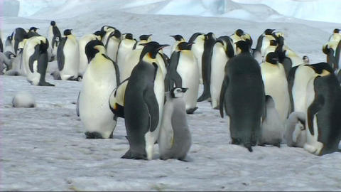 Emperor penguin chick asking for food Stock Video Footage