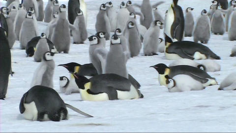 Emperor penguins resting Footage