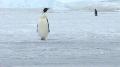 Emperor penguin walking Stock Video Footage