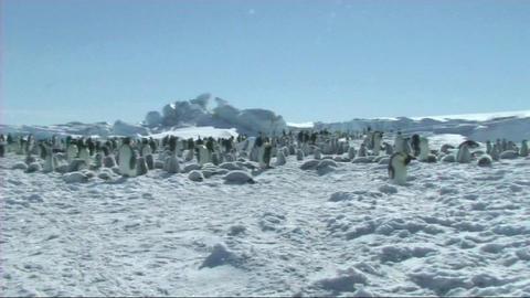 Emperor penguin colony Stock Video Footage