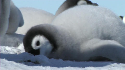 Emperor penguin chick Stock Video Footage