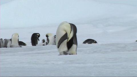 Emperor penguin preening Stock Video Footage