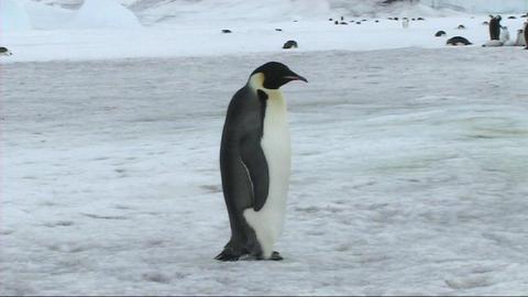 Emperor penguin standing Footage