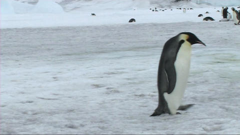 Emperor penguin standing Stock Video Footage
