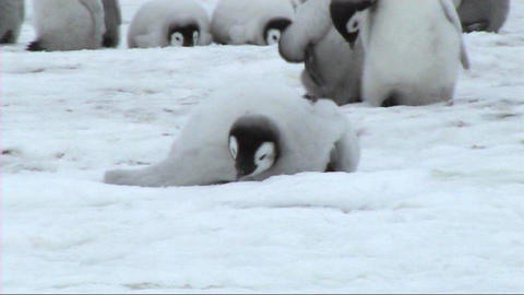 Emperors penguin walking Stock Video Footage