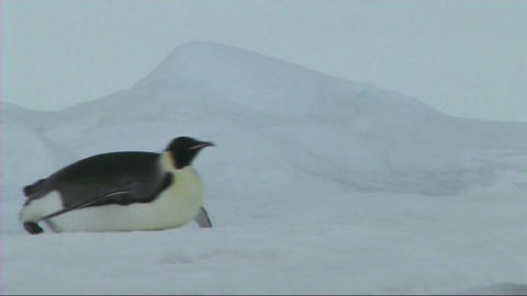 Emperor penguin sliding on the ice Live Action