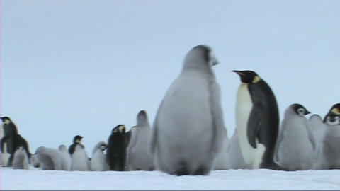 Emperor penguin chick looking around Stock Video Footage